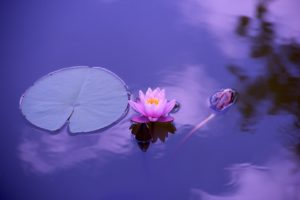 photo of lotus on a pond